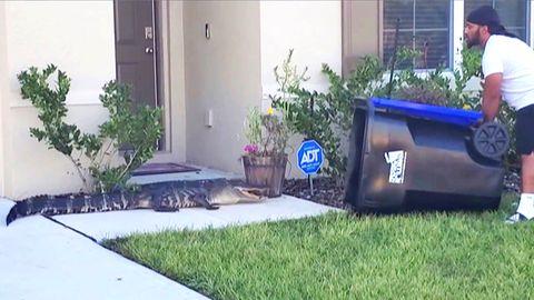 Mann fängt Alligator in Vorgarten mit Mülltonne ein