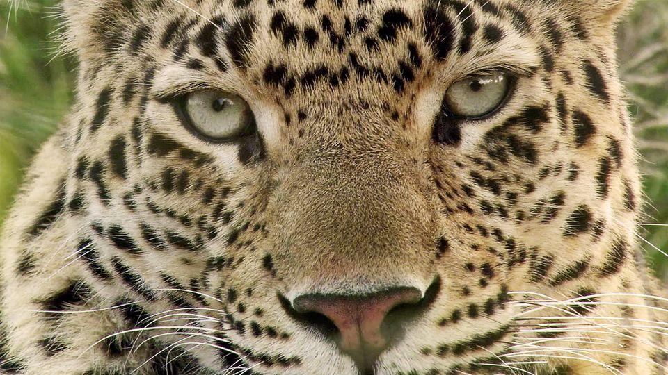 Ein Leopard in der Nahaufnahme – Symolbild für einen Leoparden-Angriff in Indien