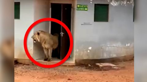 """""""Das Klo ist nicht immer sicher"""": Löwe kommt aus öffentlicher Toilette"""