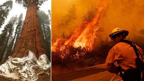 Kalifornien: Waldbrände bedrohen 3000 Jahre alte Riesenmammutbäume