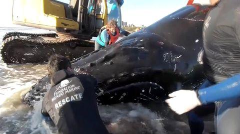 Zwei gestrandete Buckelwale mit Bagger gerettet