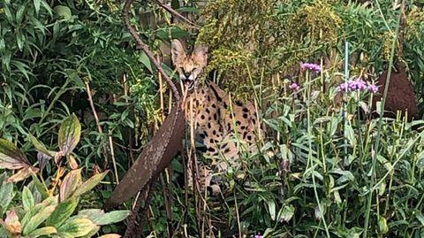 Eine große gefleckte Katze sitzt in einem Garten