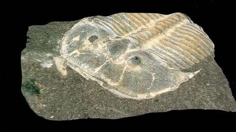 Nahaufnahme eines versteinerten Trilobiten