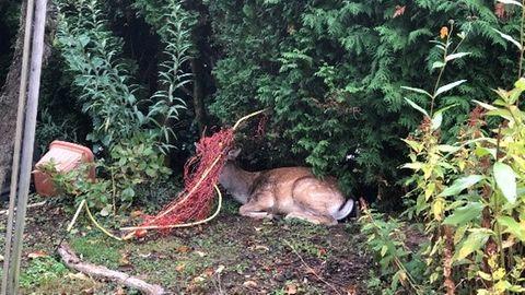 Ein Hirsch sitzt auf dem Boden und hat ein rotes Netz um den Kopf gewickelt