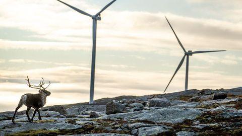 Ein Rentier streift an Windrädern in Norwegen vorbei