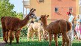 Lamas, Alpakas und Pflegekräfte unter dem Awo-Logo. Wenn es nach dem Leiter geht, soll es dieses Bild bald häufiger geben.