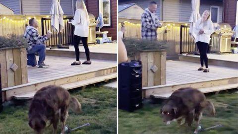Pete, der Held: Hund rettet Wandergruppe vor Bären – mit tragischem Ende