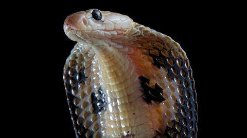 Kobra im Portrait