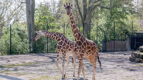 Die aus dem Kölner Zoo gekommenen Netzgiraffen-Kühe Sala (l) und Nyiri (r) gehen durch die Außenanlage der Wilhelma