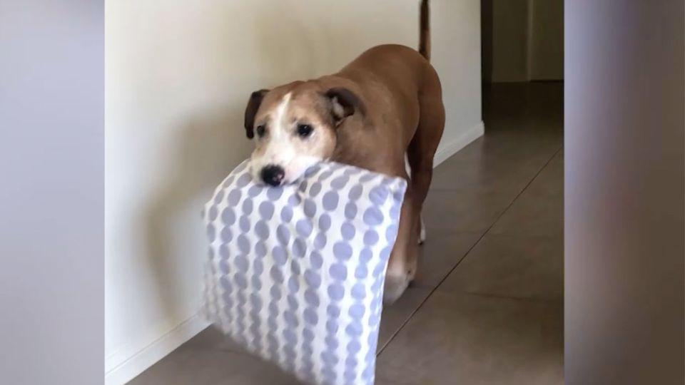 Ein braun-weißer Hund mit einem Kissen im Maul