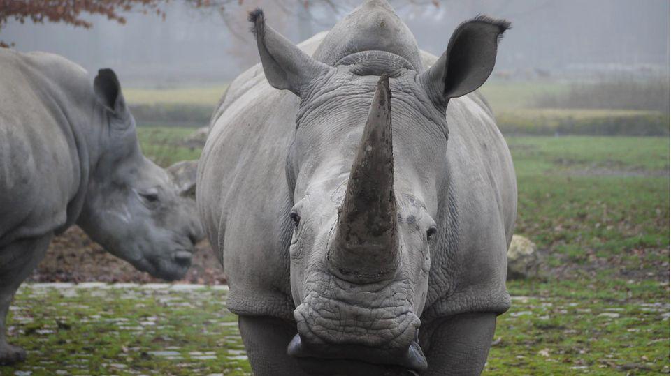 "Das Nashorn ""Kibibi""im Augsburger Zoo"