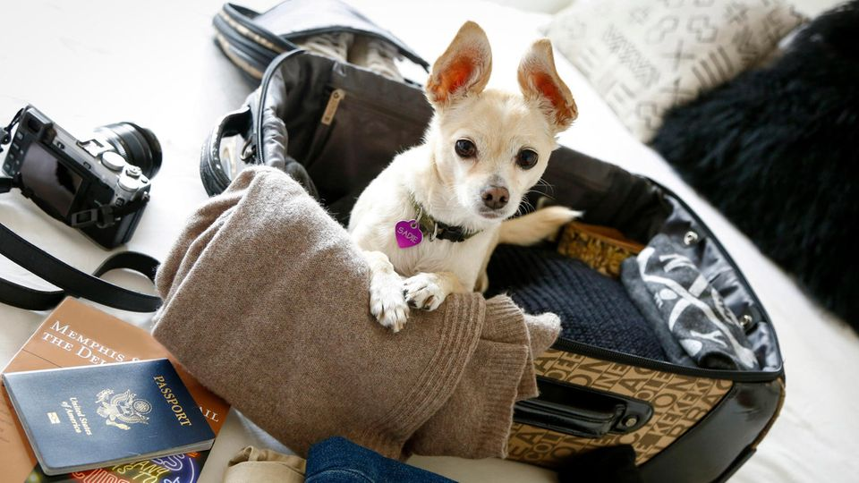 Chihuahua im Koffer