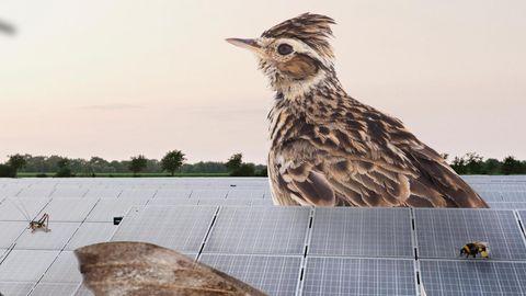 Die Collage illustriert, was Biolog*innen vor Ort erforschten: Im Solarpark Klein Rheide sind Arten wie Dunkle Erdhummel, Pappelschwärmer und die bedrohte Feldlerche heimisch geworden