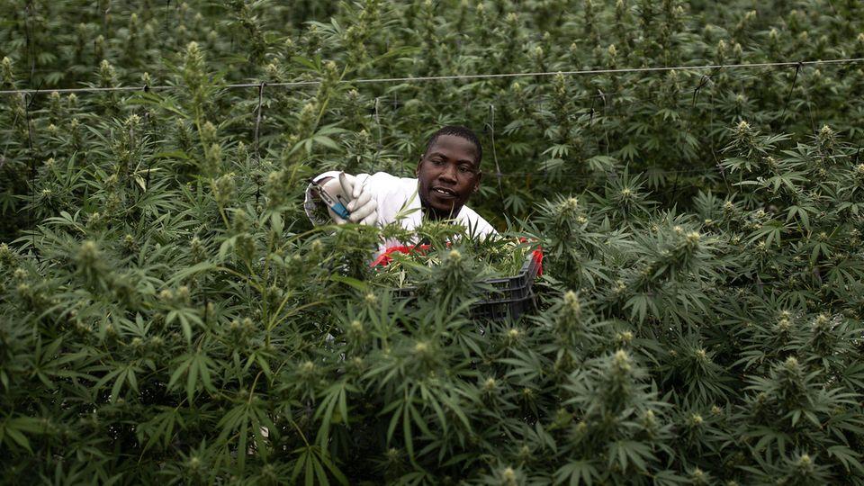Cannabis in Uganda