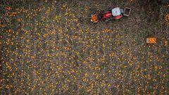 Slagelse, Dänemark. Ernte auf dem Kürbisfeld – die Firma Thorsbjerggaard ist seit etwa 15 Jahren fest etabliert im Kürbis-Business und beginnt die Ernte auch dieses Jahr rechtzeitig, um pünktlich zum Halloweenfest fertig zu sein. Thorsbjerggaard produziert jährlich insgesamt etwa eine Million dekorative und essbare Exemplare des Fruchtgemüses. Für das neue Kürbisfest in der nahegelegenen UrlaubsstadtSkaelskoer sind allein 5000 Kürbisse eingeplant.