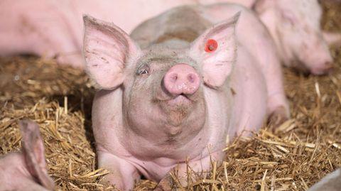 Das Schwein, das die die Niere spendete, war gentechnisch verändert