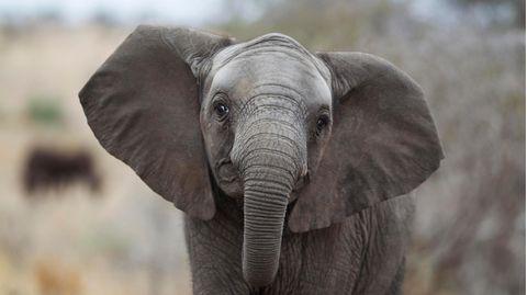 Afrikanischer Elefantohne Stoßzähne