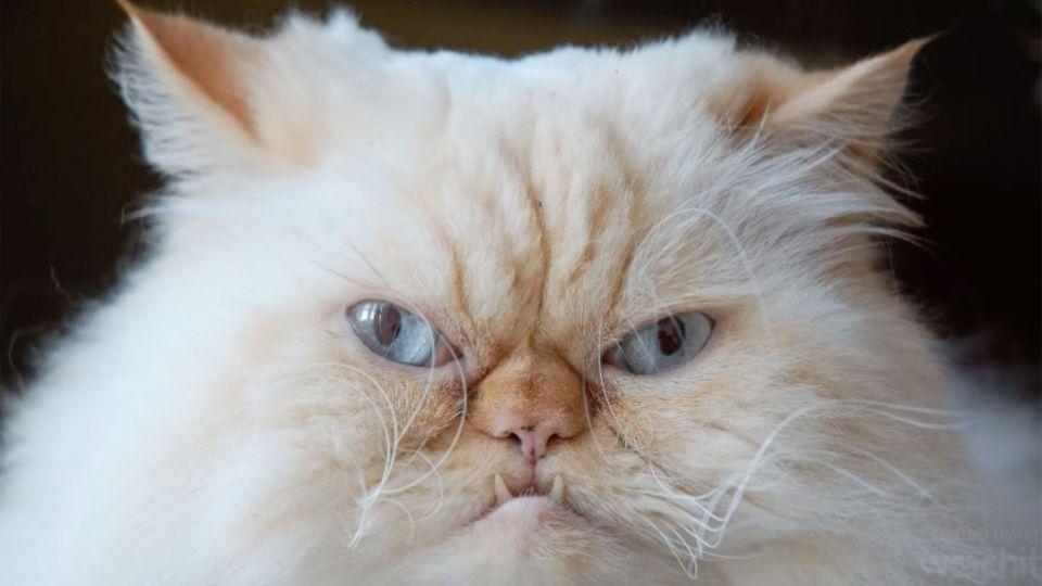 Nahaufnahme einer Katze, die böse guckt