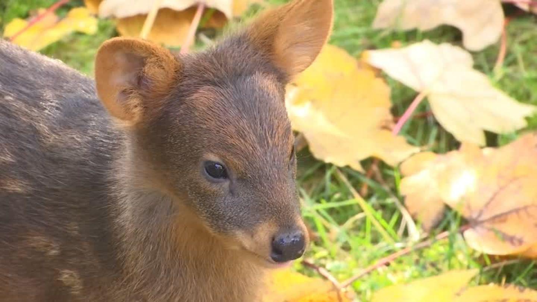 Video: Der kleinste Hirsch der Welt