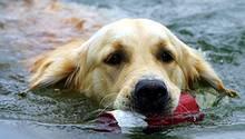 Natürlicher Schwimminstinkt: Golden Retriever werden häufig als Rettungsschwimmer ausgebildet