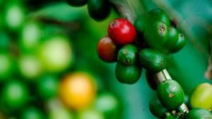 Kolumbien  Ein Kaffeebaum wird mehrfach im Jahr geerntet, da die Früchte unterschiedlich reifen. Erst wenn die Kaffeekirschen knallrot sind, werden sie gepflückt.  Kolumbien ist in der Kaffeeproduktion das Gegenstück zu Brasilien. Das Land beherrscht den Weltmarkt für hochwertige Kaffees, während aus Brasilien die mittlere Qualität liefert. Der sogenannte Andenkaffee hat ein reiches Aroma mit einer leicht süßen, nussigen Note und einer sehr feinen Säure
