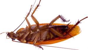 Zwei Zentimeter lang war der nächtliche Schädlings-Besuch des Australiers