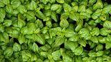 Basilikum ist besonders empfindlich. Stellt man ihn in den Kühlschrank, fängt er an zu welken, verliert seinen Geschmack und nimmt die Essensgerüche des Kühlschranks an. Besser ist es, den Basilikum wie eine schöne Blume zu behandeln: Stellen Sie ihn in eine Vase. Oder frieren Sie die grünen Blätter ein, dann haben Sie länger etwas davon.