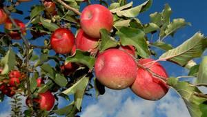 Allergiker vertragen heimische Obstsorten besser als neue Züchtungen