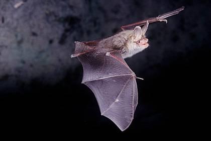 Der entdeckte Muskel bei Fledermäusen ist zwanzig Mal schneller als der schnellste Muskel eines Menschen