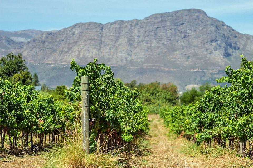 Wein aus Übersee, also aus Südafrika, Südamerika, Australien oder USA funktioniert oft anders als der Weinanbau in Europa.