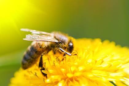 Honigbienen scheinen den früher einsetzenden Frühling zu ignorieren