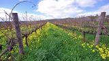 Australien gehört zu den zehn führenden Weinnationen. In den letzten zwei Jahrzehnten haben die Weine vom fünften Kontinent einen enormen Qualitätsschubs erfahren. Die meisten Winzer bauen ihre Reben zwischen dem 30. und 40. südlichen Breitengrad an, wo das Klima mit dem in Norditalien vergleich bar ist