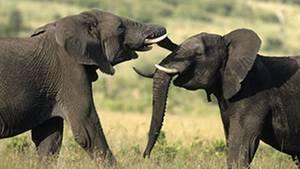 Elefanten können nicht nur Tröten. Über weite Entfernungen verständigen sie mit ganz tiefen Tönen.