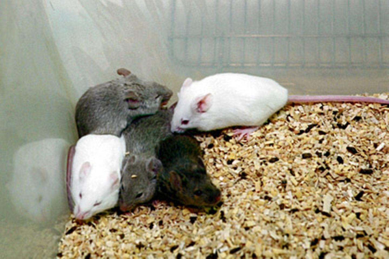 Unter anderem an Mäusen wird die Giftigkeit von Chemikalien untersucht