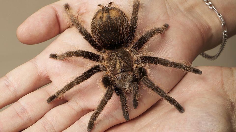 Manche Spinnenphobiker können das gefürchtete Tier schon nach einer Therapiesitzung anfassen.