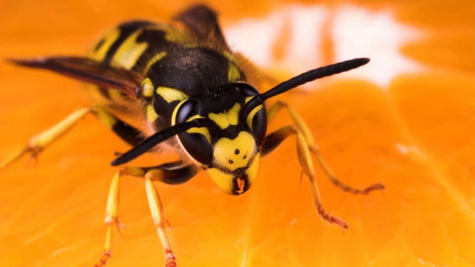 Nahaufnahme einer Wespe