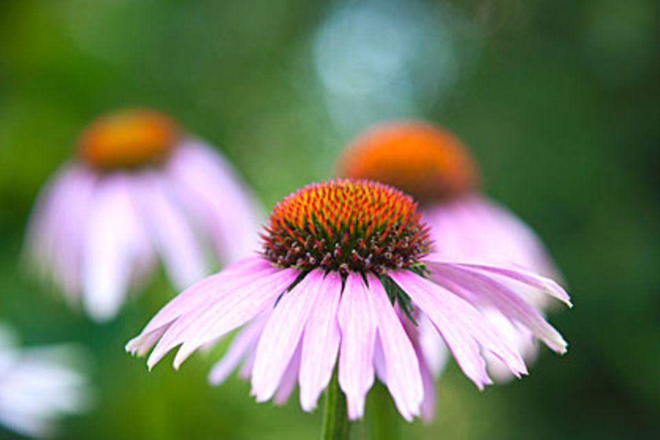 Echinacea kann das Immunsystem aktivieren