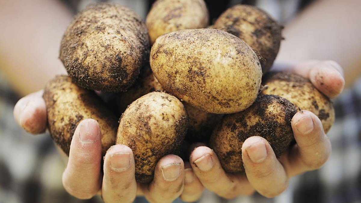 Illegale Preisabsprachen: Kartoffel-Kartell soll Kunden um Millionen geprellt haben