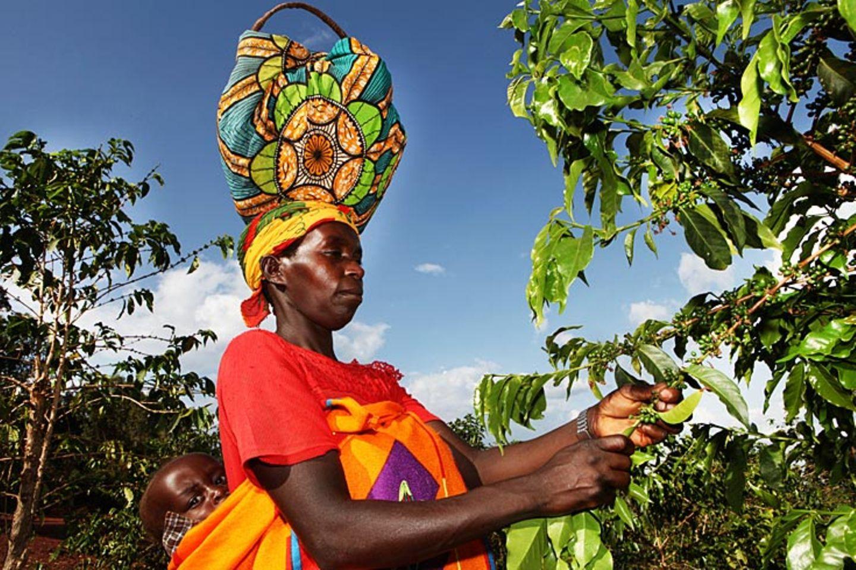 Burundi  Ein Großteil der Kaffee-Ernte aus Burundi geht unter anderem nach Deutschland. Die Kaffeebohnen wachsen in dem für afrikanische Verhältnisse winzigen Staat in einer Höhe von 1200 Metern. Sie zeichnen sich durch ein vollmundiges Aroma mit großer Milde aus. In Deutschland wird Burundikaffee meist Mischungen für Alltagskaffees hinzugegeben
