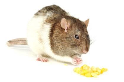 In einer Studie hatten Ratten, die mit Genmais gefüttert wurden, eine deutlich geringere Lebenserwartung als Ratten, die herkömmliches Futter erhielten