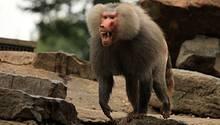Als Pavian-Chef muss man Zähne zeigen: Rivalen wollen sich den Chefposten erkämpfen