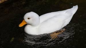 Wer würde einer Ente mit einem so unschuldig weißen Federkleid schon böse Absichten unterstellen?