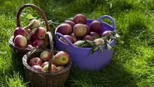 Innerhalb eines Jahres sind Äpfel um 17 Prozent günstiger geworden, so die Berechnungen des Statistischen Bundesamtes in Wiesbaden. Auch die Preise für Zwiebeln und Knoblauch sanken in diesem Zeitraum um 17 Prozent.