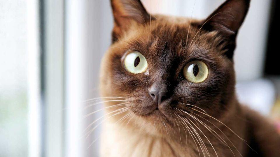 Das Schweizer Gesetz erlaubt, eigene oder verwilderte Katzen zum Verzehr zu töten.