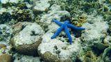 Der Blaue Seestern ernährt sich von Schwebestoffen und Algen. Ein Schnorchel- oder Tauchvorgang beginnt nicht ohne Einweisung. In der Tiefe lauern nicht nur bunte Farben, sondern auch Gefahren. Die wunderschön aussehende Kegelmuschel harpuniert ihre Opfer mit einem auch für den Menschen tödlichen Nervengift, gegen das es kein Antiserum gibt. In Acht nehmen muss man sich auch vor dem perfekt getarnten Steinfisch, einer der giftigsten Fische überhaupt.