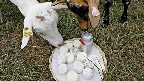 Mit einer Ziege fing alles an: Um deren Milch zu verbrauchen, machte Kathrin Gropengießer Käse