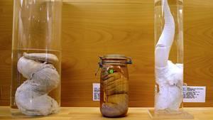 Ob der Penis einer Giraffe oder eines Zwergwals: Im Phallus-Museum in Reykjavik werden Penisse in allen Größen und Formen ausgestellt.