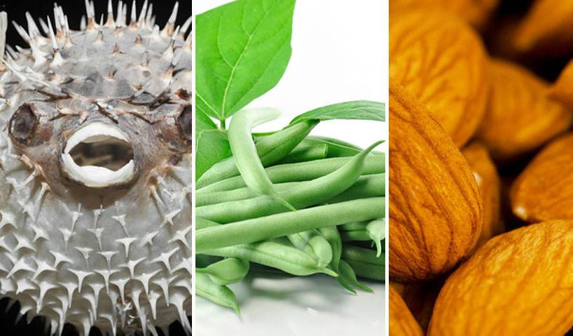 Kugelfisch ist bekannt, aber auch rohe Mandeln und Bohnen können lebensgefährlich sein...