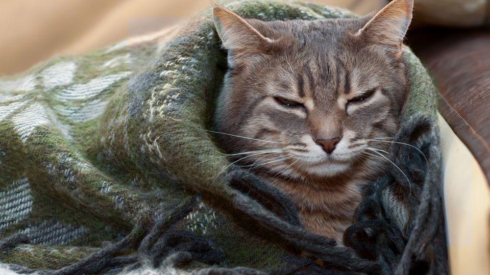 Machen Sie's wie diese Katze: Werden Sie zum Decken-Burrito.
