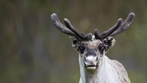 Rot, röter, Rudolph: Doch auch die Nasen seiner natürlichen Artgenossen können sich sehen lassen. Forscher entdeckten deren rote Riecher auf Wärmebildern.